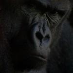 20100914120840_bioparc_gorila01