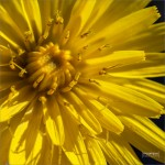 mcamposfoto_Taraxacum_officinale_0001
