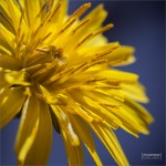mcamposfoto_Taraxacum_officinale_0002